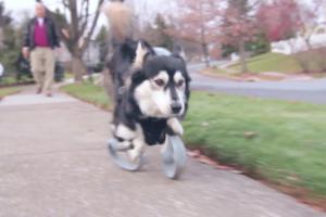 Собака змогла ходити на лапах, роздрукованих на 3D-принтері
