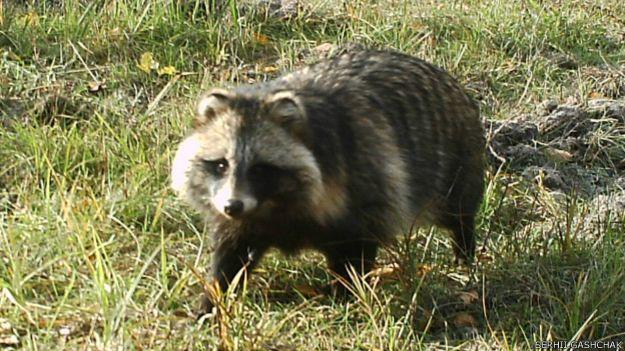 150204150040_raccoon_dog_chornobyl_gashchak_624x351_serhii.gashchak