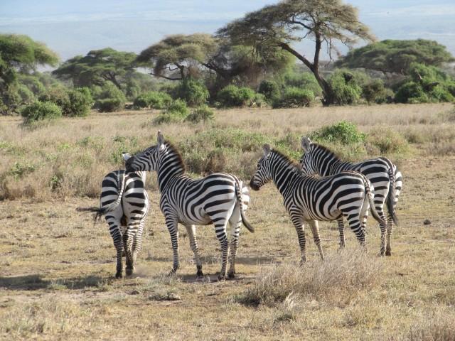 amboseli-kenya-safari-zebras3-hannaburlaka.blogspot.com