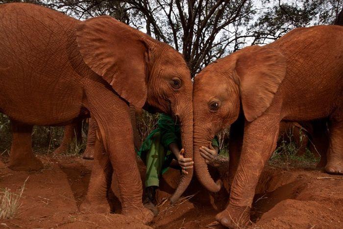 Притулок для слонів-сиріт