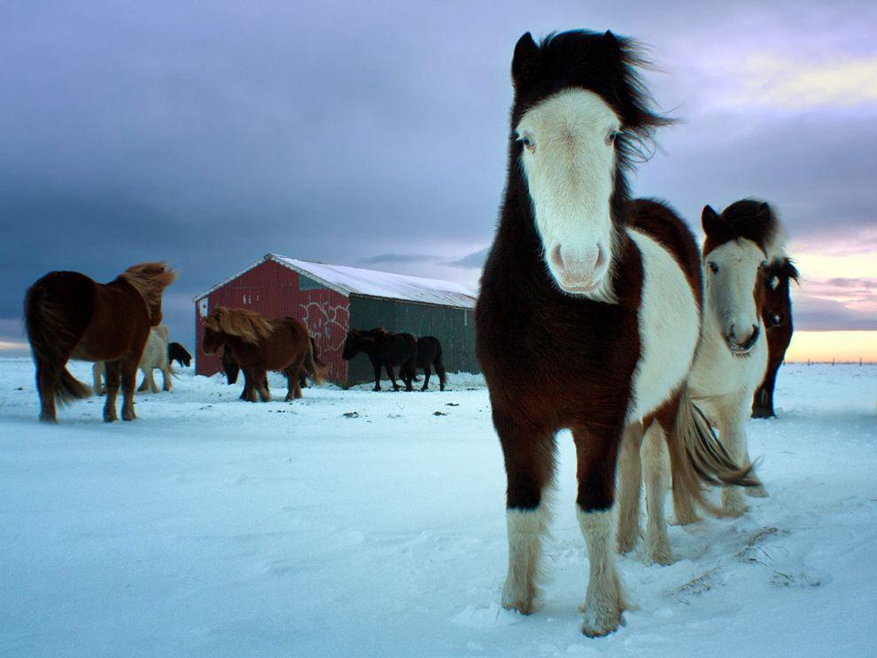 Ісландські коні (Marketa Kalvachova, Your Shot)