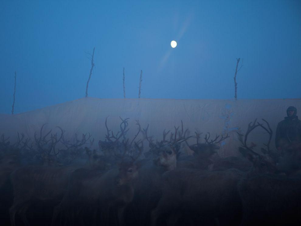 Північні олені, Скандинавія (Erika Larsen)
