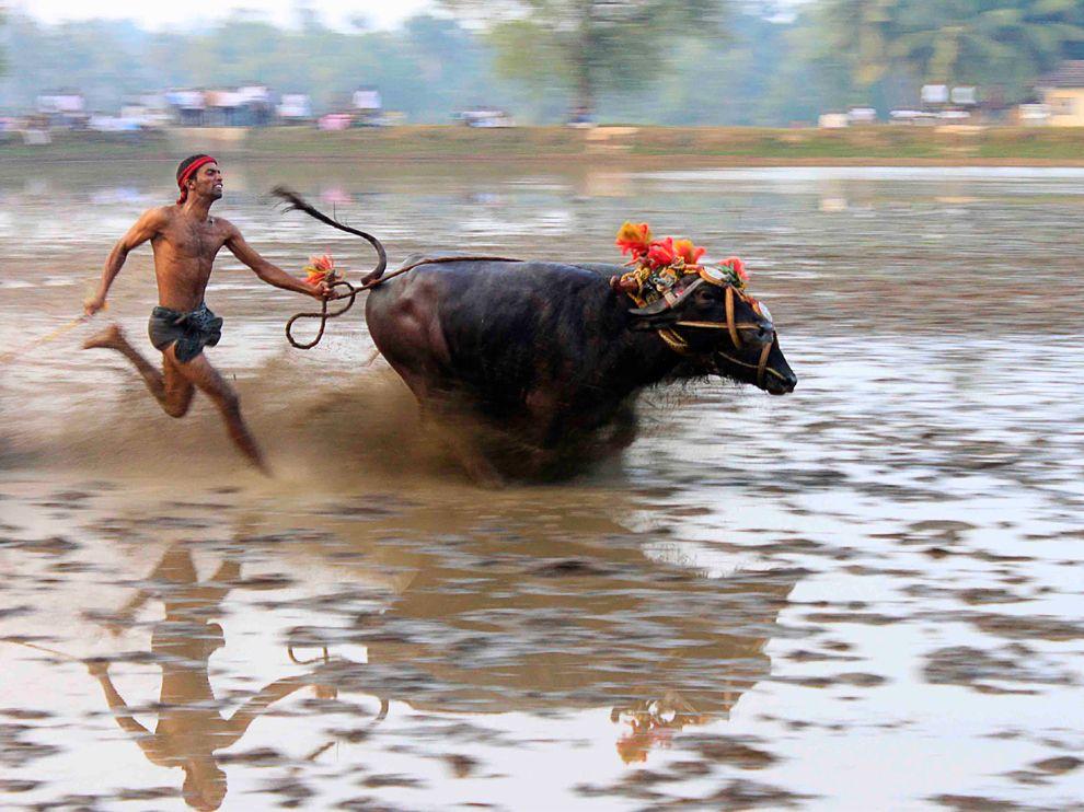 Забіг буйволів, Індія (AchintyaGuchhait Guchhait, My Shot)