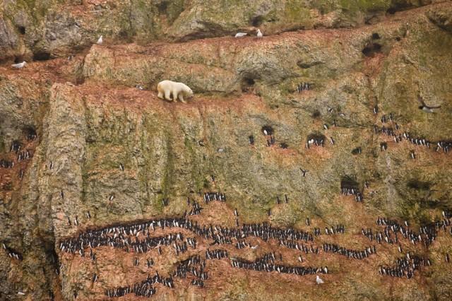 Полярний ведмідь повзе по крутій скелі, о. Нова Земля, (Jenny E. Ross)