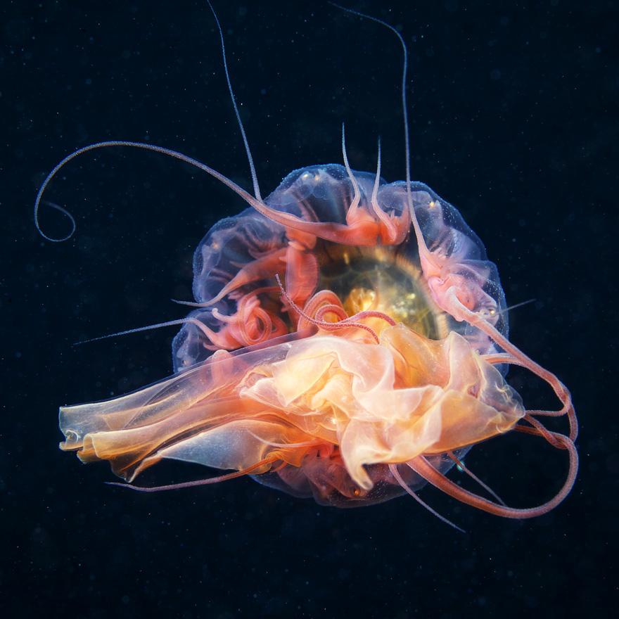 12 неймовірних фото медуз