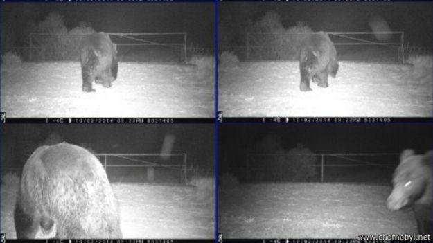 150202151729_bear_chornobyl_512x288_www.chornobyl.net