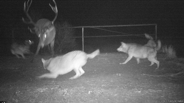 150204133039_wolves_deer_hunting_chornobyl_gashchak_624x351_serhii.gashchak