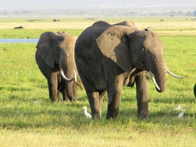 amboseli-kenya-safari-elephant-7-hannaburlaka.blogspot.com