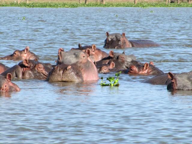 kenya-naivasha-lake-hippo
